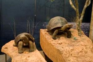 7-galapagos-tortoises-c-nhm
